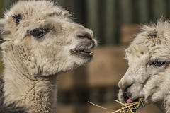 Lama guanicoe in Liberec ZOO in winter Royalty Free Stock Images