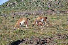 Lama guanicoe nel parco nazionale di Torres del Paine, regione del Magallanes, Cile del sud del guanaco Immagini Stock