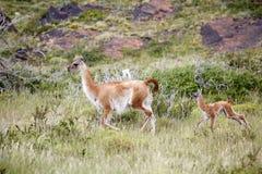 Lama guanicoe nel parco nazionale di Torres del Paine, regione del Magallanes, Cile del sud del guanaco Fotografia Stock Libera da Diritti