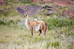 Lama guanicoe nel parco nazionale di Torres del Paine, regione del Magallanes, Cile del sud del guanaco Fotografia Stock