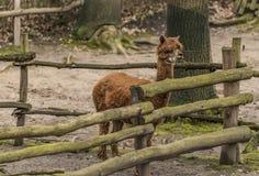 Lama guanicoe nello ZOO di Decin nell'inverno Fotografia Stock Libera da Diritti