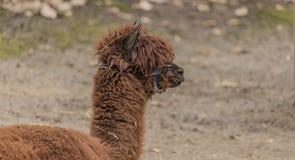 Lama guanicoe nello ZOO di Decin nell'inverno Fotografie Stock