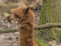 Lama guanicoe nello ZOO di Decin nell'inverno Immagini Stock