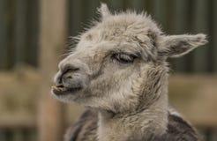 Lama guanicoe nello ZOO di Liberec nell'inverno Fotografie Stock Libere da Diritti