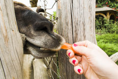 Lama Guaniku eats carrots. Lama Guaniku eats Markov from the hands of a man Royalty Free Stock Photos
