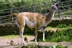 Lama gum alpaca artiodactyl  mammal eyelashes Royalty Free Stock Photography