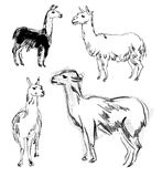 Lama. Hand-dragit Royaltyfria Bilder