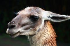 Lama Head. Image of a Lama Head in zoo Royalty Free Stock Photo