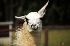 Lama. Head of Lama chewing a food in zoo Royalty Free Stock Image
