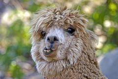 Lama Head funny looking wild hair portrait. Close up portrait of funny looking Lama, shoowing teeth Stock Images