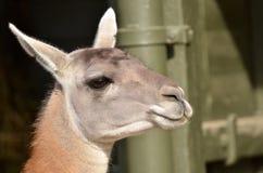 Lama head Royalty Free Stock Image