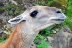 Lama head and neck portrait Stock Photography