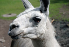 Llama head portrait.  Stock Photos