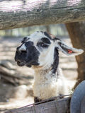 Lama head resting on ground Royalty Free Stock Images
