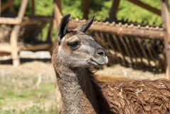 Lama head right profile. In sunny day in zoo royalty free stock photography