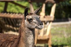 Lama head right profile Royalty Free Stock Photo
