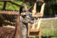 Lama head right profile. Looking forward closeup Royalty Free Stock Photo