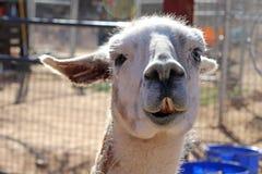 Lama head shot Royalty Free Stock Image