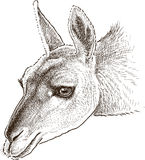 Lama head. Vector drawing of the portrait of a wild lama Stock Photo