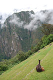 A lama and her calf in Machu Pichu Royalty Free Stock Photography