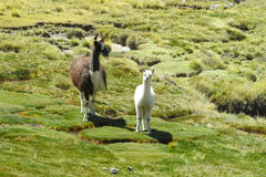 Lama and her small baby. On a meadow in the mountains royalty free stock image