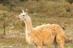 Lama heraus im Naturporträt Lizenzfreie Stockfotografie