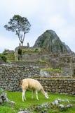 Lama het weiden bij de ruïnes van Machu Picchu- Incas in de Andes, Cuzco-gebied Stock Foto's