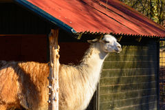 Lama hiding from the sun. Shelter for llamas. Lama in captivity Royalty Free Stock Images