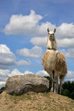 Lama on the hill Stock Photo