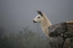 Lama hinter Steinruinen von Machu Picchu Stockfotos