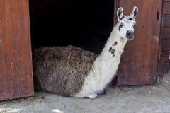 Lama hinter Zaun in Käfig 02 Stockfoto