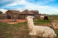 Lama at Home. In Sillustani Village Royalty Free Stock Images