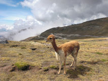Lama at Huancayo Royalty Free Stock Photography