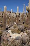 Lama in Huge Cactuses, Isla del Pescado, Salar de Uyuni Stock Photography