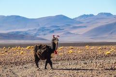 Lama i öknen Royaltyfri Fotografi