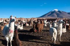Lama i Bolivia Royaltyfri Foto