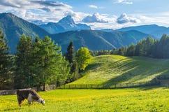 Lama i dolomitesna med berget Peitlerkofel, södra Tyrol, Italien Arkivfoto