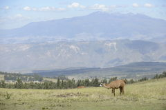 Lama i Latyno-amerykański malowniczy widok górski Fotografia Royalty Free