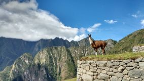 Lama i Machu Picchu Royaltyfri Bild