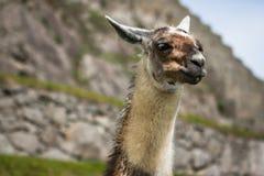Lama i Machu Picchu, Cuzco, Peru arkivfoton