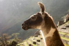Lama i Machu Picchu, Cuzco, Peru royaltyfria foton