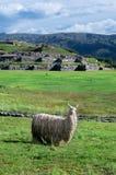 Lama i Sacsayhuaman i Cuzco, Peru Arkivfoto