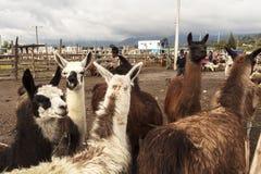 Lama i Saquisili den djura marknaden i Quito Royaltyfri Fotografi