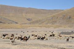 Lama i vidsträcktheten av Altiplanoen Royaltyfri Fotografi