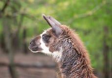 Lama i zoo med den långa halsen som ner ser Royaltyfri Fotografi