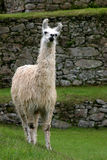 Lama an ihm berühmtes Machu Picchu Lizenzfreies Stockbild