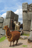 Lama in inca ruins. In Peru Royalty Free Stock Image