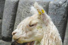 Lama in inca ruins Stock Image