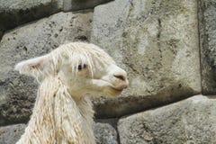 Lama in incaruïnes stock afbeeldingen