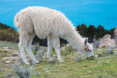Lama on Island of the Sun on Titicaca lake. Bolivia. Royalty Free Stock Photos